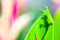 Anole Wide -Anole Lizard on haliconia